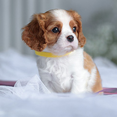Available <br>Puppies