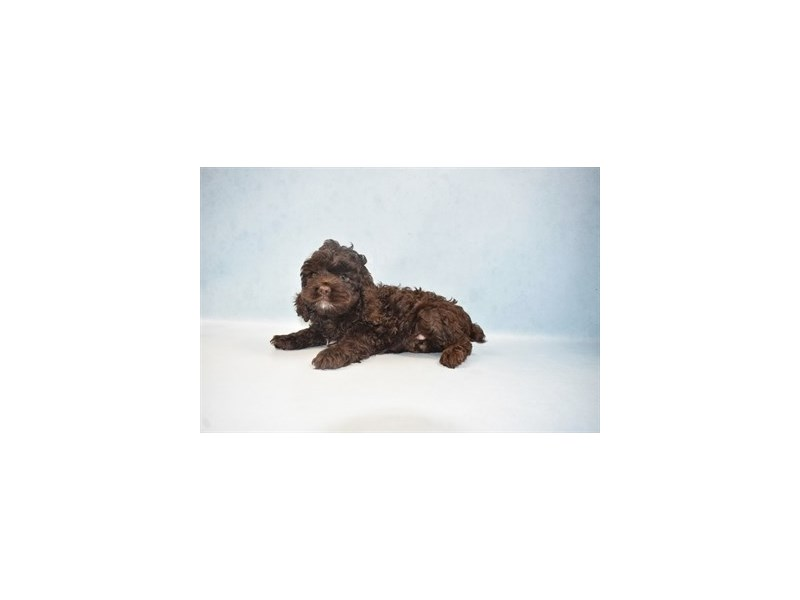 Cockapoo-Male-Brown-2655611-Petland Murfreesboro