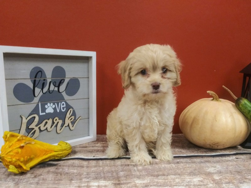Cockapoo-Female-Tan-2890958-Petland Murfreesboro