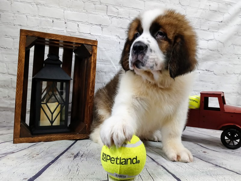 Saint Bernard-Male-Brown/White-2971755-Petland Murfreesboro