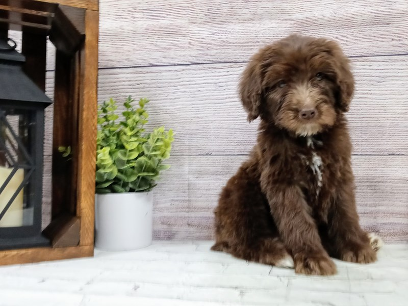 Goldendoodle-Female-Chocolate-2992481-Petland Murfreesboro