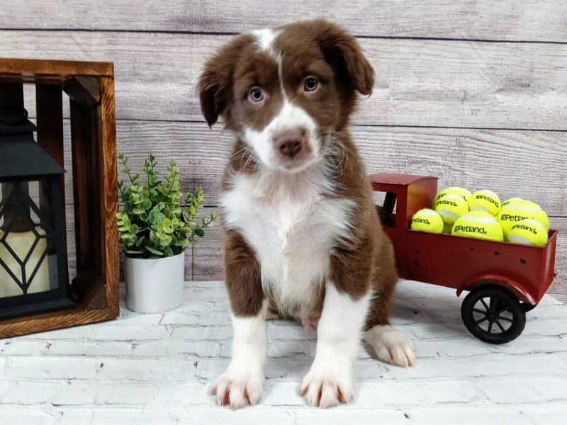 Australian Shepherd-Male-Brown / White-2988914-Petland Murfreesboro