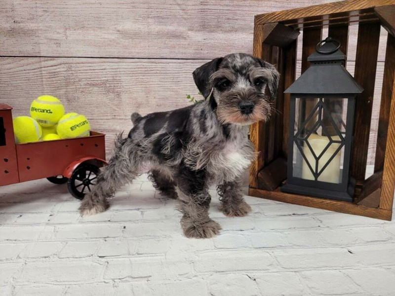 Miniature Schnauzer-Male-Salt / Pepper-3024570-Petland Murfreesboro
