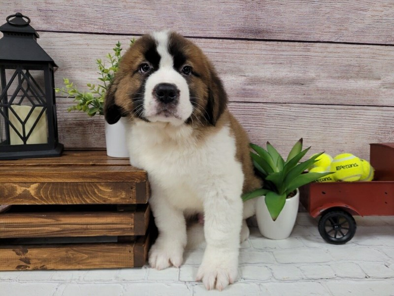 Saint Bernard-Male-Sable / White-3055497-Petland Murfreesboro